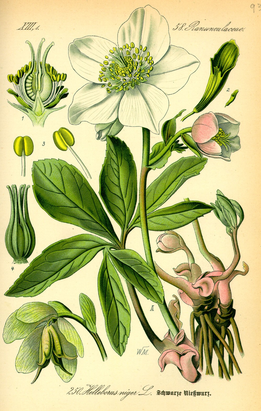 Illustration_Helleborus_niger0